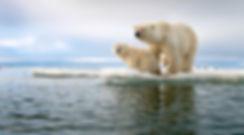 Polar Bear Family Ice Melting Wildlife Photgraphy