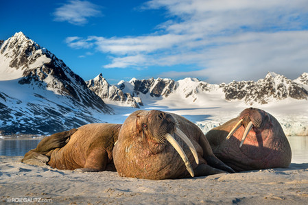 Walrus Hangout