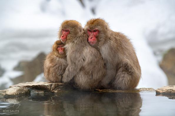 Japanese Snow Monkey Family