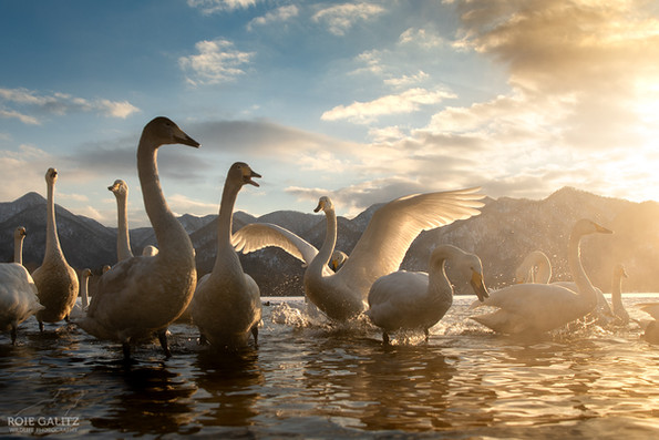 Whooper's Swans Sunset