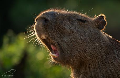 Capybara Roar
