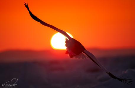 Steller's Sea Eagle with Sun
