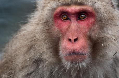 Japanese Snow Monkey Wise
