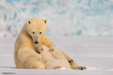 Polar Bear Breastfeeding
