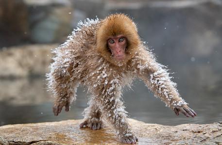Funny Japanese Snow Monkey Running