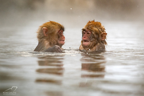 Japanese Snow Monkey two babies