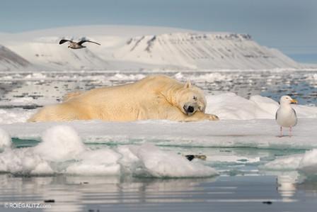 Polar Bear Sleeping on Sea Ice