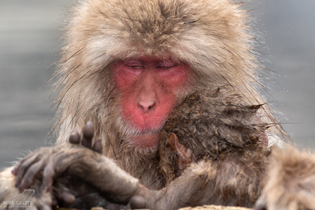 Japanese Snow Monkey mother and baby