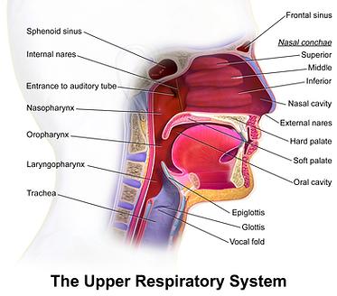 Blausen_0872_UpperRespiratorySystem.png