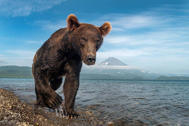 Brown Bear Kamchatka Volcano