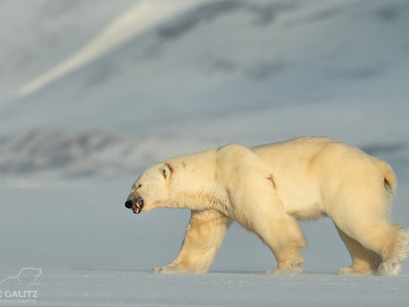 Polar Bear Mating