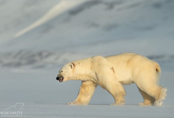Injured Polar Bear