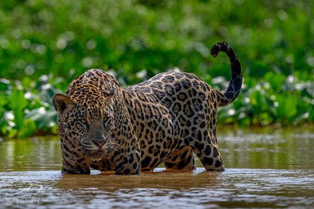 Jaguar in River