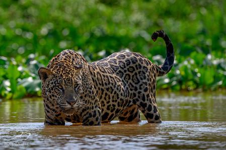Jaguar in River