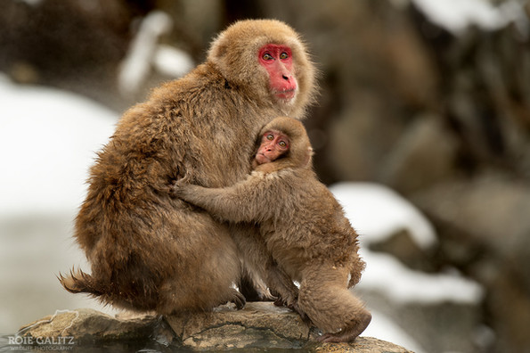 Japanese Snow Monkey Mother and scared b