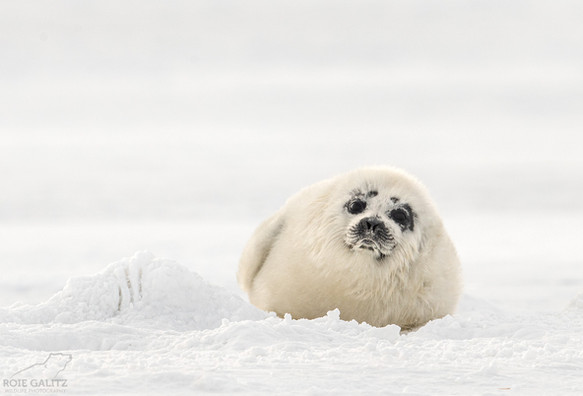 Baby Ringed Seal