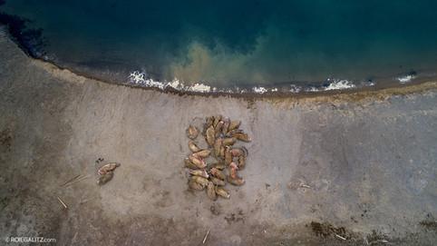 Walrus Drone beach