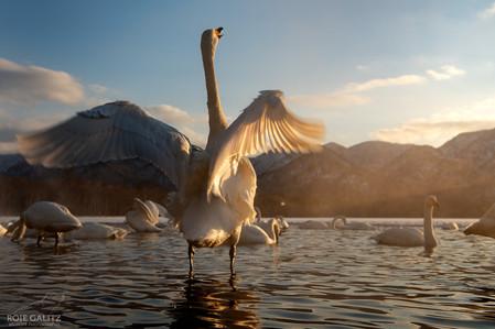 Whooper Swan Calling