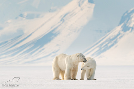 Polar Bear male and female