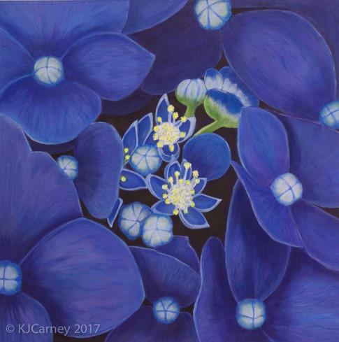 Blue Hydrangea by Kay Carney