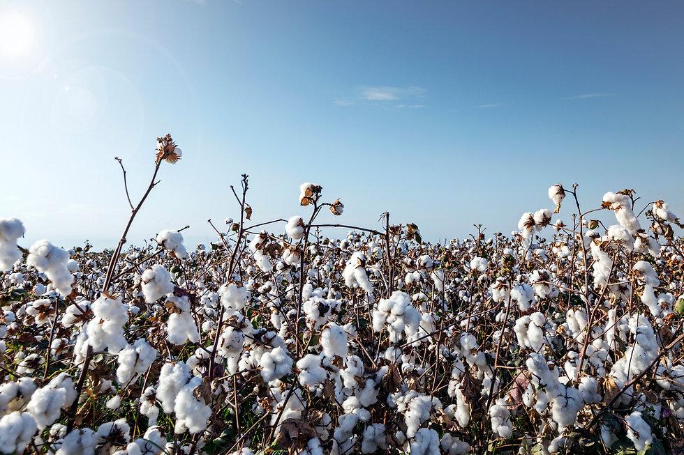 iStock-1171579701 - Cotton.jpg