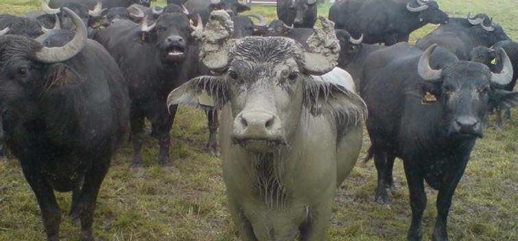 West Country Water Buffalo Dorset Farmers Market