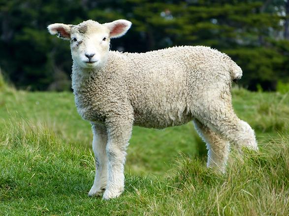Buckshaw Milk Sheep Dorset Farmers Market
