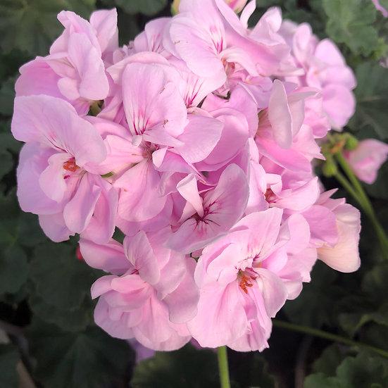 Géranium zonal (droit) rose pale