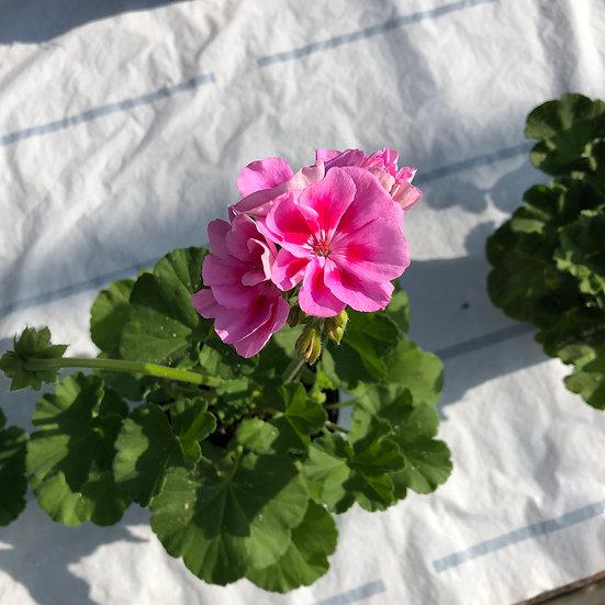 Géranium zonal (droit) rose à oeil