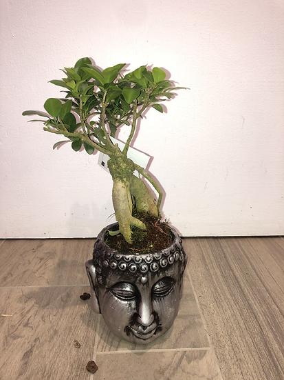 Ficus ginseng dans cache pot bouddha