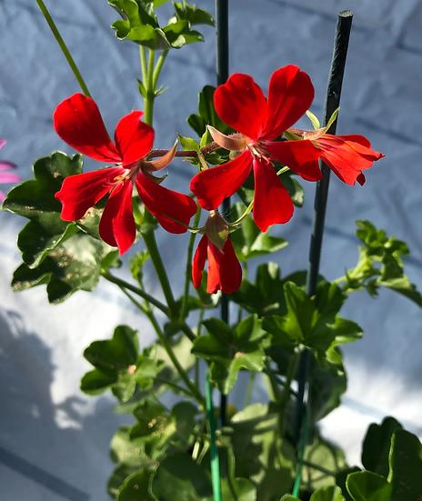 Géranium lierre rouge