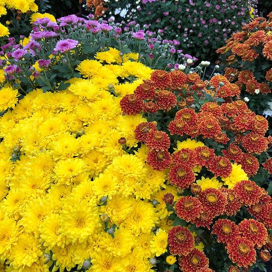 Chrysantheme mélange