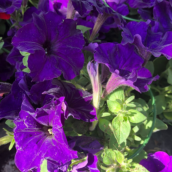 Pétunia retombant violet foncée