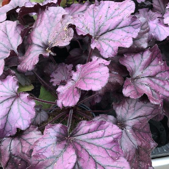 Heuchera violet