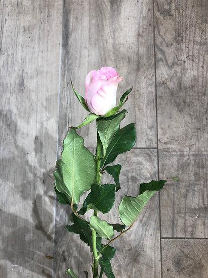 Rose rose petit bouton 50 cm