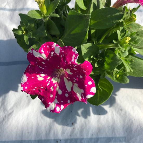 Pétunia retombant rose taché de blanc