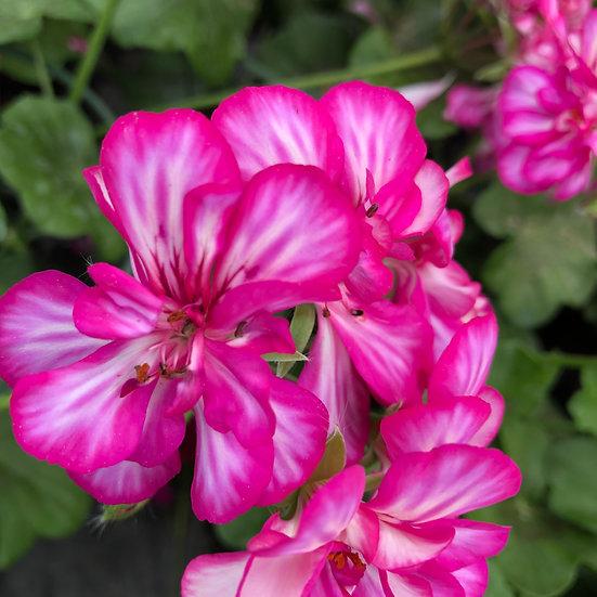 Géranium lierre double rose moucheté
