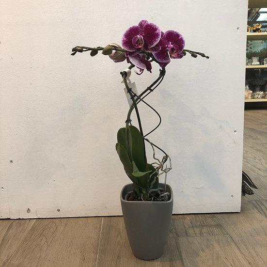 Orchideé torsadée