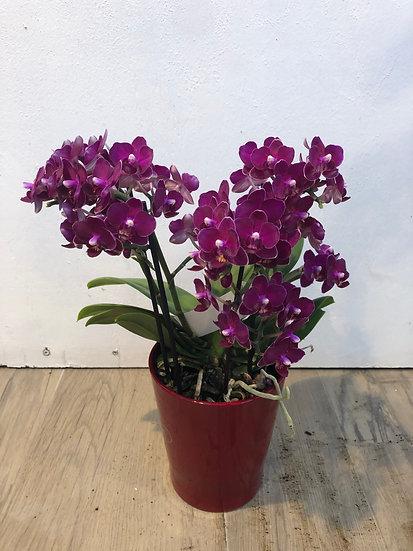 Orchidée petites fleurs