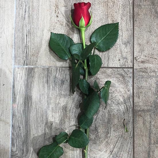 Rose rouge petit bouton
