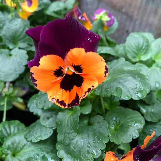 Pensée orange macule à ailes violettes