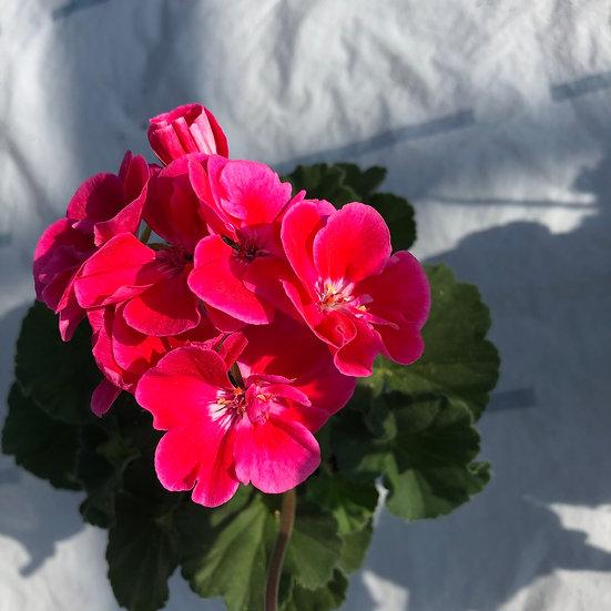 Géranium zonal rose oeil magenta