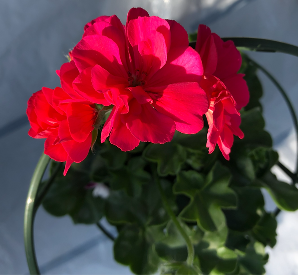 Géranium lierre double rose soutenu