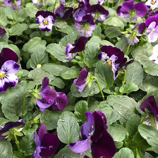 Pensée Cornuta blanc et violet foncé