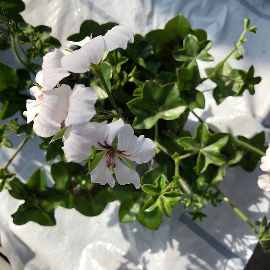 Géranium lierre blanc