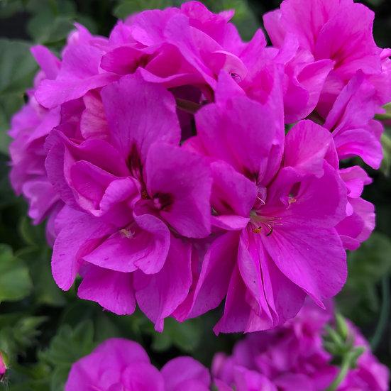 Géranium lierre double violet
