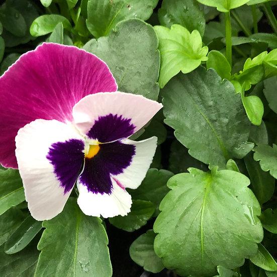 Pensée blanc macule à ailes roses