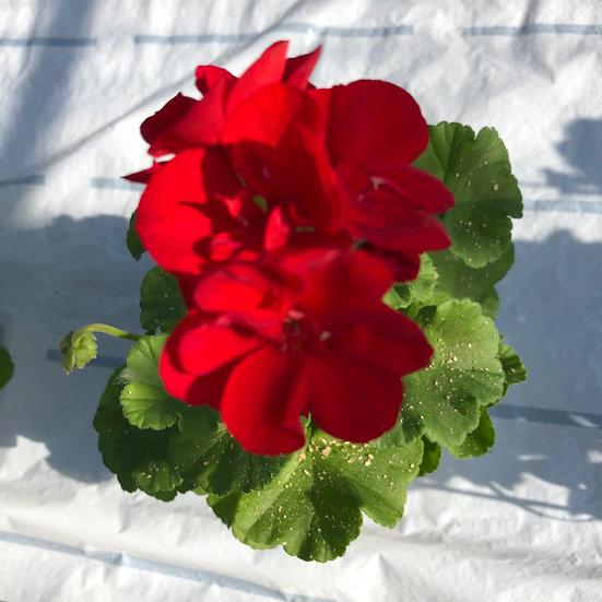 Géranium zonal (droit) rouge foncé