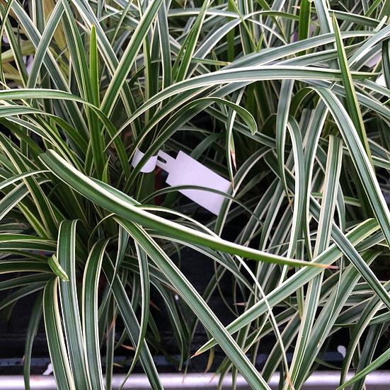 Carex panaché