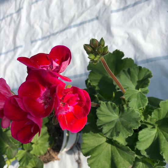 Géranium zonal rouge oeil violet